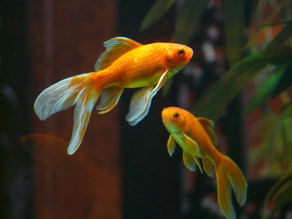 2 Pretty Goldfish